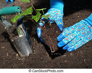 Planting ivy tree