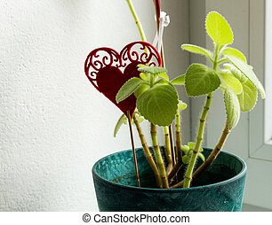 Planting mexican mint flower, seedlings in plastic flower pot isolated on white background, plant use in culinary as spice, Plectranthus amboinicus fragrant plant with thick furry foliage in vertical