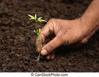 Planting neem plant in fertile soil