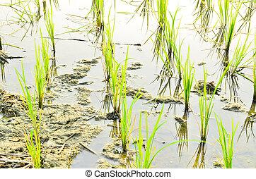 Planting new rice