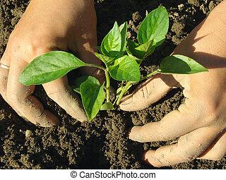 planting pepper seedlings - hands planting pepper seedlings...