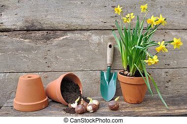 planting plant bulbs - narcissus and tulip bulbs in a pot...