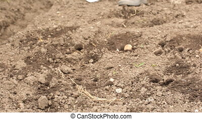 Planting potato in spring season