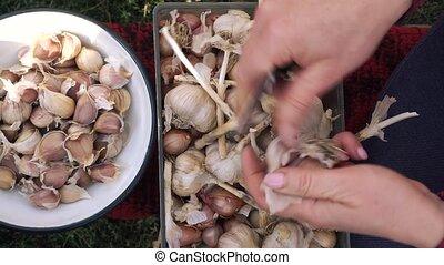 planting., préparer, femme, traitement, garlic., mains, avant, planter, ail, graine, peler