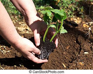 planting pumpkin