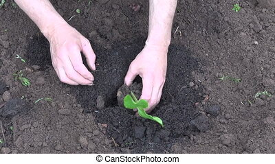 planting pumpkin seedling sprout