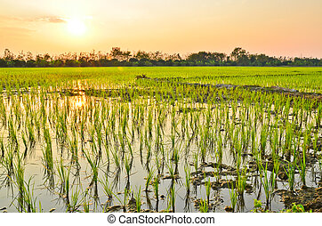 Planting rice in evening.