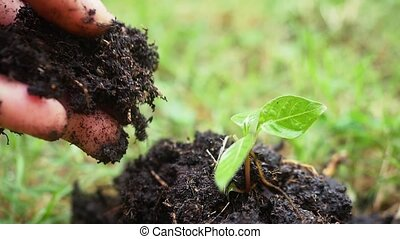 Planting, seedling, close up of female hands planting young...
