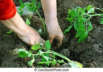 Planting seedlings of tomatoes.