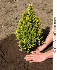 Planting spruce - Planting young green spruce seedling in...