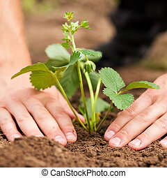 Planting strawberries in garden - Woman (close up on hand)...