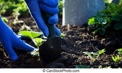 planting strawberries in the garden - hands holding a...