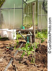 Planting tomato bushes in a small garden with a greenhouse. Home grown vegetables.