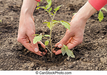Planting tomato sprout in the ground, gardening.