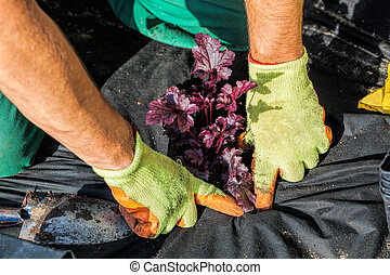 Planting with a barrier mat - Horticulturist seeds plant...