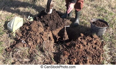 planting young apple tree in spring
