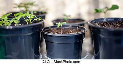 Planting young seedlings in a large pot on the table, at home.