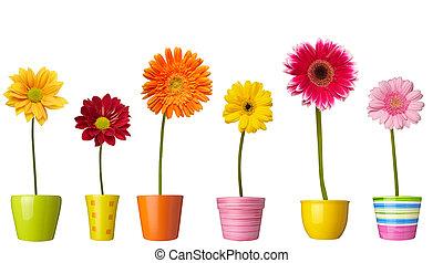 plantkunde, bloemtuin, natuur, pot, madeliefje, bloem
