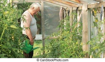 plants, будем, концепция, принимать пищу, здоровый, полив, скоро, пожилой, высокая, greenhouse., ripen., peppers, помидоры, человек