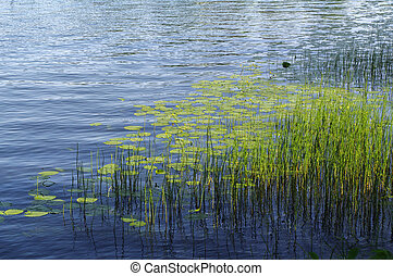 plants and aquatic plant on blue lake water surface.