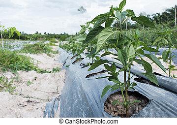 plants green pepper in garden