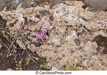 Plants in Iceland - purple flowers