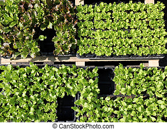 plants in the trays ready to be transplanted for sale at the mar