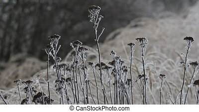 plants in winter with frost