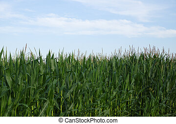 Plants of corn on a farm field under a blue sky. Agricultural landscape.
