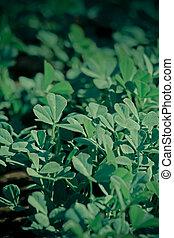 Plants of Fenugreek Foenum-graecum in a field