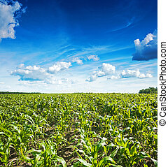 plants of wheat on field and beautiful blue cloudy sky