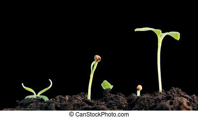 plants, timelapse., cycle., sprigtime, sprouting, seeds., жизнь, эволюция, isolated, концепция, germitating, новый, выращивание, альфа, канал