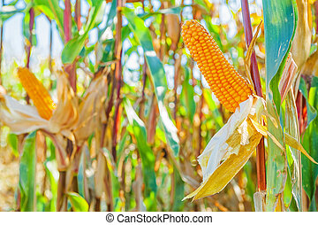 plants with ears of maize corn