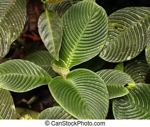 Plants with ridged leaves - In rainforest in the Upper...