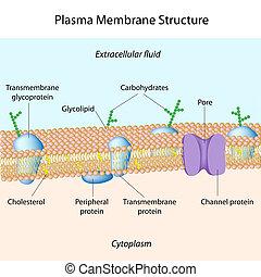 Plasma membrane - Structure of plasma membrane