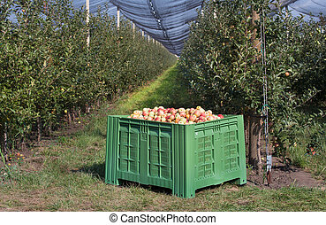 Plastic basket with apples in orchard