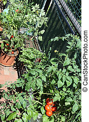 plastic box in urban garden with red tomatoes - plastic box...