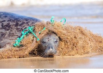 Plastic marine pollution. Seal caught in tangled nylon...