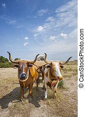 Plastic oxen pulling covered wagon at Scott's Bluff National Monument, Nebraska