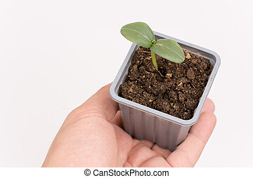Plastic pot with nursery cucumber in the hand