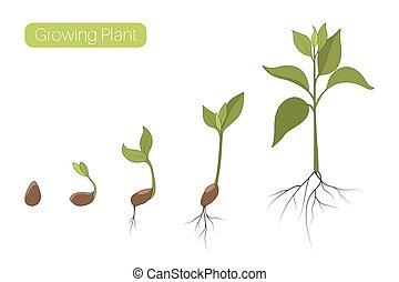 plat, plant, vector, illustration., spruit, fasen, concept., boon, zaad, evolutie, boom., groei, voortgang, germination, stadia
