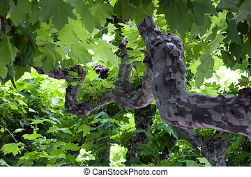 Platan leafs