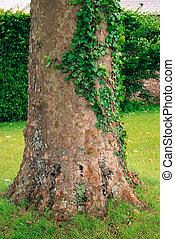 platan tree trunk