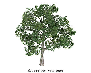 Platane or Platanus - Platane or latin Platanus isolated on ...