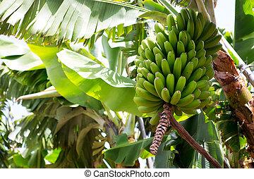 platano, la, plátano, plantación, palma, canarian