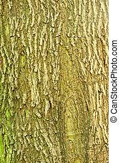 platanoides, closeup, fond, acer, écorce, érable, norvège