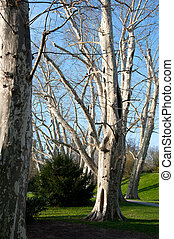 Platanus - bleak carefully cut plane trees in the spring sun