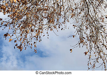 Platanus in autumn