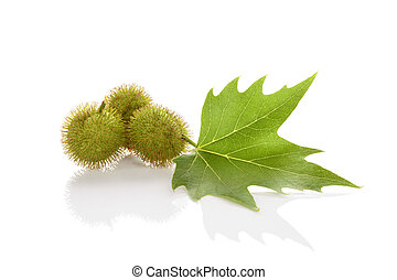 Platanus Leaf And Berries - Platanus tree, sycamore leaf and...