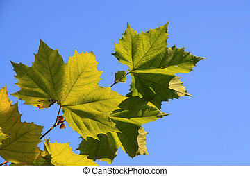 platanus leaves - a kind of plant leaves
